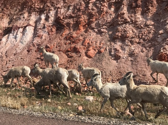 Big Horn Sheep - roam free at Black Hill National Forest